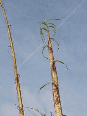 bambus olpe ihr bambus fachhandel mit einer riesen auswahl. Black Bedroom Furniture Sets. Home Design Ideas